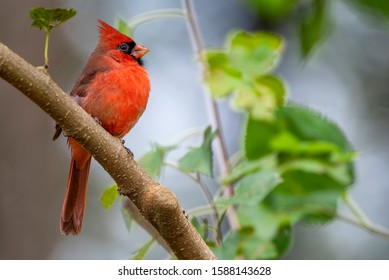 Northern Cardinal Perched in Stalwart Position in Mulberry Tree in October in Louisiana