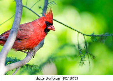 Northern Cardinal Perched in a Tree