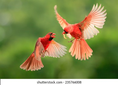 Northern Cardinal, Wildlife