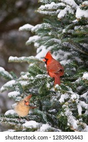 Northern Cardinals (Cardinalis cardinalis) male and female in Balsam fir tree in winter, Marion, Illinois, USA.