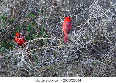 Northern Cardinals (Cardinalis cardinalis) males sitting in lotebush for protection.