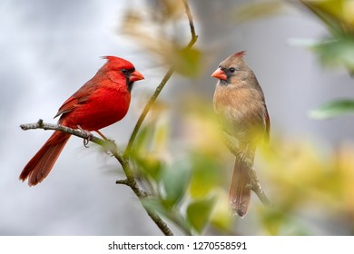 Northern Cardinals Mates for Life