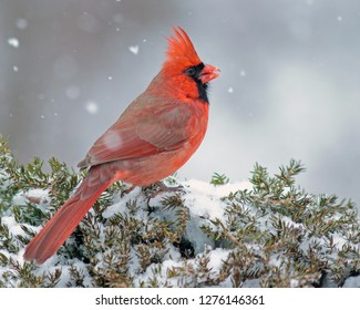 Northern Cardnial in Snow