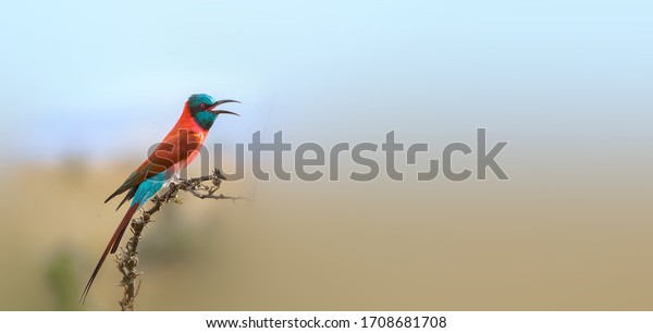 Northern Carmine Bee-eater foraging in the woods