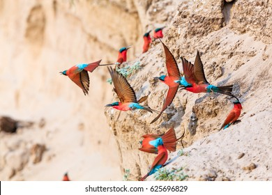 Northern Carmine Bee-eater in South Luangwa NP - Zambia