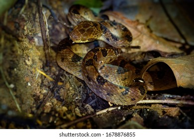 Northern Cat-eyed Snake - Leptodeira septentrionalis species of medium-sized, slightly venomous snake, found from southern Texas to northern Colombia, Ecuador, Costa Rica.