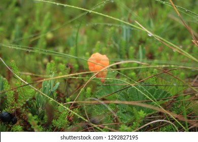 Northern cloudberry grows in the swamp