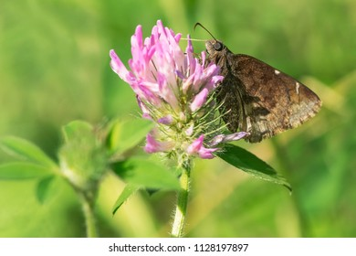 Northern Cloudywing Butterfly collecting nectar from a Red Clover flower. High Park, Toronto, Ontario, Canada.