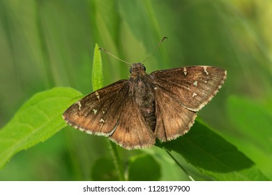 Northern Cloudywing Butterfly resting on a leaf. High Park, Toronto, Ontario, Canada.