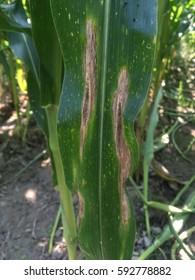 Northern corn leaf blight (NCLB) is a foliar disease of corn (maize) caused by Exserohilum turcicum.
