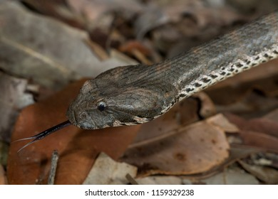 Northern death adder (Acanthophis praelongus). A dangerously venomous snake known for camouflaging itself in leaf litter. Goldsborough Valley, Queensland,