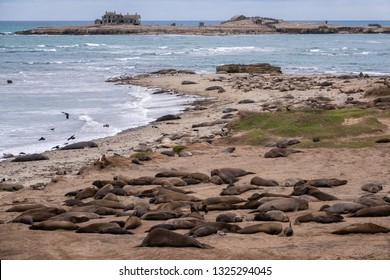Northern Elephant Seals (Mirounga angustirostris) rest on the beach during mating season, at Ano Nuevo State Park and preserve, along the Pacific Coast of California, in Pescadero.