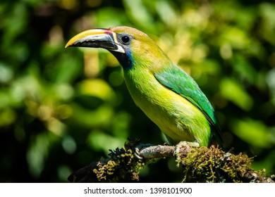 Northern emerald toucanet (Aulacorhynchus prasinus), small toucan. Beautiful bird at San Gerardo de Dota, Costa Rica