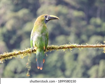 Northern Emerald Toucanet perched in a branch