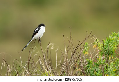 Northern fiscal (Lanius humeralis) perching on a blade of grass, Ethiopia.