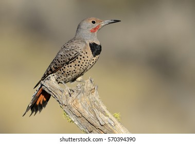 Northern Flicker (Colaptes auratus) - Central Oregon