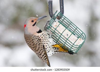 Northern Flicker (Colaptes auratus) male on suet cake feeder in winter, Marion, Illinois, USA.