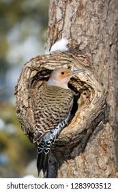 Northern Flicker (Colaptes auratus) male on dead tree in winter, Marion, Illinois, USA.
