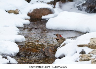 Northern Flicker (Colaptes auratus) male bathing in winter, Marion, Illinois, USA.