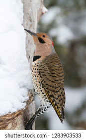 Northern Flicker (Colaptes auratus) male in winter, Marion, Illinois, USA.