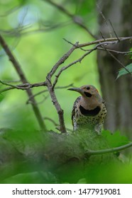 A Northern Flicker hiding amongst the leaves