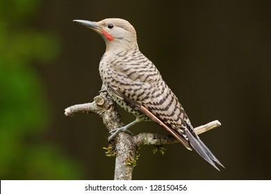 Northern Flicker is a medium-sized member of the woodpecker family.