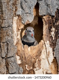 Northern Flicker peeking out from its nest hole. Colorado, USA.