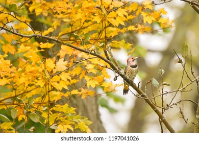 A Northern Flicker perched on a maple tree in Autumn.