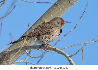 A northern flicker is perched on a tree branch in north Idaho.