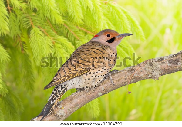 northern-flicker-perching-on-dry-600w-95