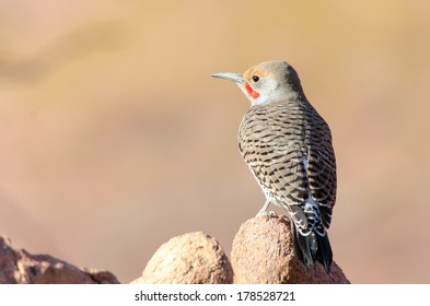 Northern Flicker (Red shafted) at Red Rocks Amphitheater, Colorado