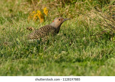 Northern Flicker standing in the grass. Also known as the Yellow-shafted Flicker. Colonel Samuel Smith Park, Toronto, Ontrio, Canada.