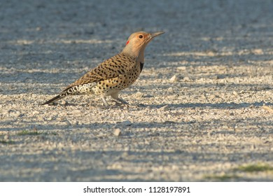 Northern Flicker standing on a gravel path. Also known as the Yellow-shafted Flicker. Colonel Samuel Smith Park, Toronto, Ontario, Canada.