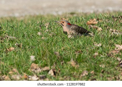 Northern Flicker walking in the grass by the side of the road. Also known as the Yellow-shafted Flicker. Bronte Creek Provincial Park, Toronto, Ontario, Canada.