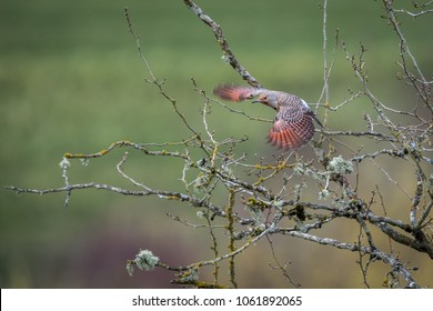Northern Flicker Woodpecker Flying with Motion Blurred Red Wings