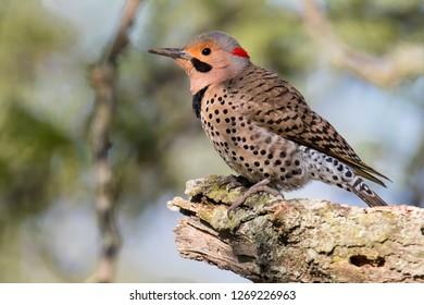 Northern Flicker Woodpecker Perched In Tree