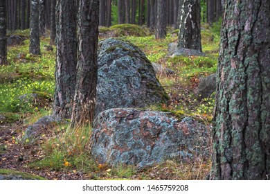 Northern forest. Taiga with mosses and stones