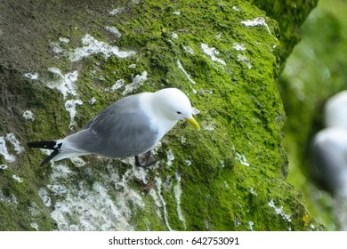 Northern fulmar, Carrick-a-Rede, Northern Ireland