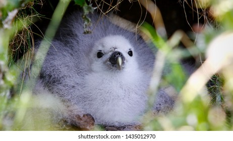 Northern fulmar chick lying comfortably looking out of its nest