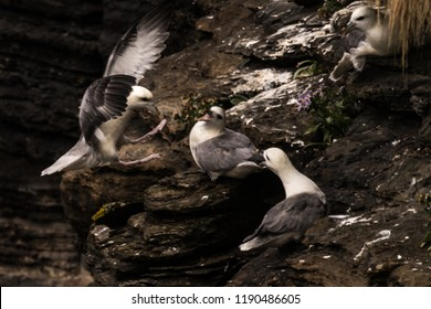 northern fulmar Fulmarus glacialis, fulmar, Arctic fulmar pair at nest site calling in Scotland, Great Britain