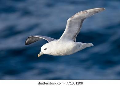 Northern Fulmar (Fulmarus glacialis) flying over the sea off Iceland.