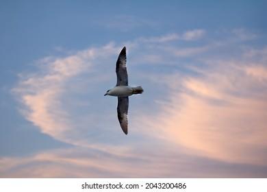 Northern fulmar (Fulmarus glacialis, white morph) in flight. High latitudes of the Arctic Ocean, FJL, oceanic birds