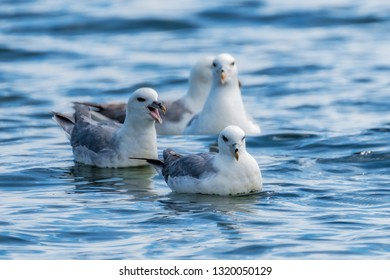 Northern fulmars swimming in the ocean