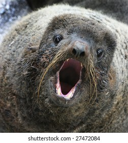 northern fur seal (Callorhinus ursinus)