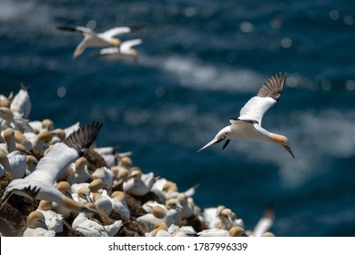 Northern gannet colony with numerous birds perched on nests. There are a couple of fast gannets in flight over the large hill covered with white, yellow and brown winged agile seabirds.