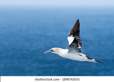 Northern gannet flies above blue waters of the North Atlantic ocean near Iceland. Elegant Morus bassanus travels through the arctic on a sunny summer day.
