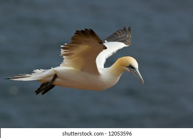 Northern Gannet flying in the air. Helgoland, Germany.