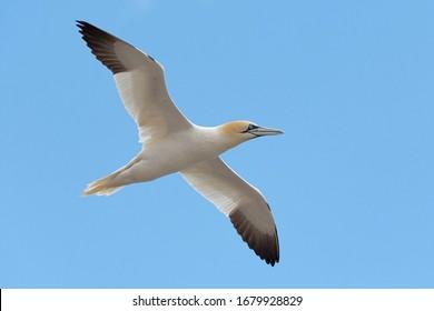 Northern gannet flying (Morus bassanus) Saltee Island, Ireland