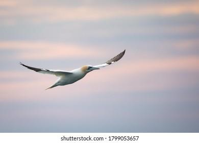 Northern Gannet flying at sunset around Grassholm Island.