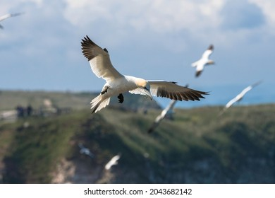 The Northern Gannet found on the cliffs, Gannet colony North Yorkshire Coast, England
